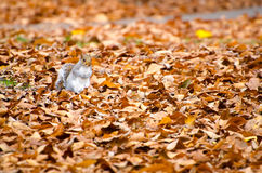Squirrel walking on leaves Royalty Free Stock Photography