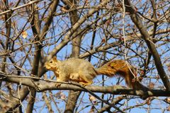 A squirrel walking on the tree branch. Royalty Free Stock Photos
