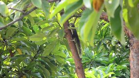 Squirrel walking on the tree at garden in Bangkok Thailand. Squirrels are members of the family Sciuridae, consisting of small or medium-size rodents. The family stock video