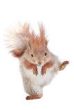 Squirrel. Walking squirrel on a white background Royalty Free Stock Photos