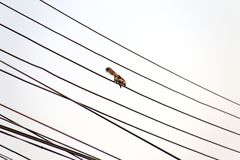 Squirrel walks on the electric cable. Isolated squirrel walks on the electric cable Stock Photos