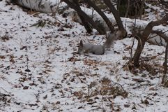 squirrel walks in the winter forest royalty free stock images