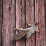 Squirrel on the wall. Cute squirrel climb on the wall royalty free stock photos