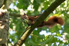 Squirrel with a walnut. A squirrel with a walnut in the tree Stock Photography