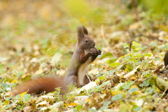 Squirrel with walnut Stock Photos