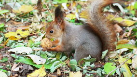 Squirrel and walnut stock video footage