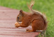Squirrel with walnut Royalty Free Stock Images