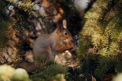 Squirrel and walnut. Royalty Free Stock Photos