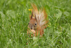 Squirrel with walnut. In green grass Stock Photo