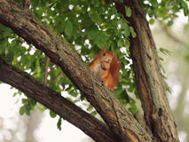 Squirrel with Walnut Stock Photography
