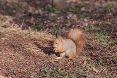 Squirrel with walnut (Sciurus vulgaris). Red Squirrel with walnut (Sciurus vulgaris Royalty Free Stock Photo