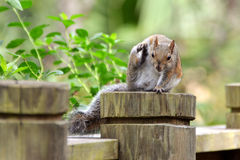 Squirrel Warning Royalty Free Stock Photography