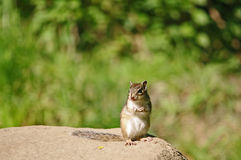 The squirrel was eating nuts Royalty Free Stock Photo