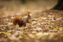 Squirrel. The squirrel was photographed in the Czech Republic. Squirrel is a medium-sized rodent. Inhabiting a wide territory ranging from Western Europe to royalty free stock photography