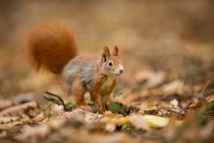 Squirrel. The squirrel was photographed in the Czech Republic. Squirrel is a medium-sized rodent. Inhabiting a wide territory ranging from Western Europe to stock photography