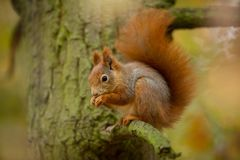 Squirrel. The squirrel was photographed in the Czech Republic. Squirrel is a medium-sized rodent. Inhabiting a wide territory ranging from Western Europe to stock image