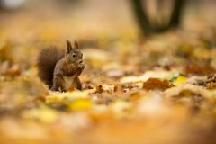 Squirrel. The squirrel was photographed in the Czech Republic. Squirrel is a medium-sized rodent. Inhabiting a wide territory ranging from Western Europe to royalty free stock images