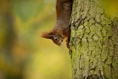 Squirrel. The squirrel was photographed in the Czech Republic. Squirrel is a medium-sized rodent. Inhabiting a wide territory ranging from Western Europe to royalty free stock photo