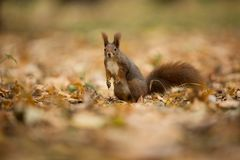 Squirrel. The squirrel was photographed in the Czech Republic. Squirrel is a medium-sized rodent. stock photo