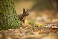 Squirrel. The squirrel was photographed in the Czech Republic. Squirrel is a medium-sized rodent. royalty free stock image