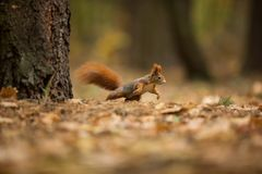 Squirrel. The squirrel was photographed in the Czech Republic. Squirrel is a medium-sized rodent. royalty free stock photography