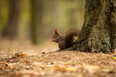 Squirrel. The squirrel was photographed in the Czech Republic. Squirrel is a medium-sized rodent. stock photos