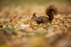 Squirrel. The squirrel was photographed in the Czech Republic. Squirrel is a medium-sized rodent. royalty free stock photo