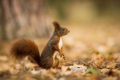 Squirrel. The squirrel was photographed in the Czech Republic. Squirrel is a medium-sized rodent. stock photography