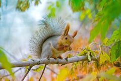 Squirrel washes on the branch Royalty Free Stock Photo