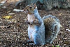 Squirrel in Washington Royalty Free Stock Photos