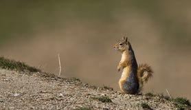 Squirrel on the Watch. A squirrel is standing still watching around royalty free stock photography