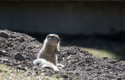 Squirrel watch out. Canada, Calgary: Richardson Ground Squirrel (Ziesel) watch out of his lair royalty free stock photos