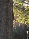 Squirrel watches from tree stock image