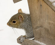 Squirrel Watching Royalty Free Stock Photo