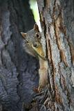 Squirrel watching. Squirrel peeking from behind the tree, curiously watching on Stock Photography