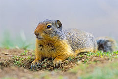 Squirrel watching Stock Images