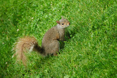 Squirrel watching to the camera. Squirrel in the grass at Boston Common Park watching to the Camera Stock Images