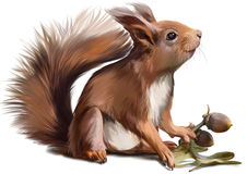Squirrel watercolor painting. A red squirrel found acorns Stock Image