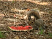 Squirrel and watermelon Stock Photos