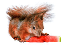 Squirrel and watermelon Royalty Free Stock Photos