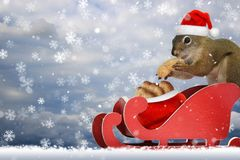 Squirrel wearing a santa hat eating a peanut in a sled. Red squirrel wearing a santa hat eating a peanut in a red sleigh in the snow Stock Images