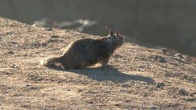 Squirrel Westcoast, California, United States stock video