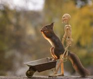 Squirrel on wheelbarrow with a skeleton Stock Photography