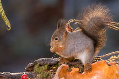 Squirrel the whisperer Stock Image