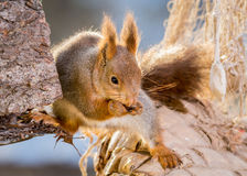 Squirrel whispers Royalty Free Stock Photos