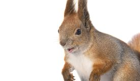 Squirrel on a white background. Isolated Royalty Free Stock Image