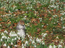 Squirrel on a white flower field. In a park royalty free stock photography