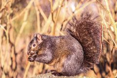 Squirrel in wild nature, in autumn. Dry and high grass. Nature photograph. stock photography