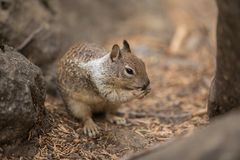 Squirrel in wild Nature Yosemite National Park Landscapes stock photos