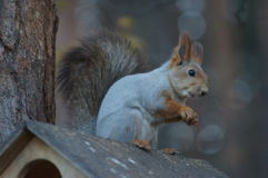 Squirrel wild Royalty Free Stock Photography